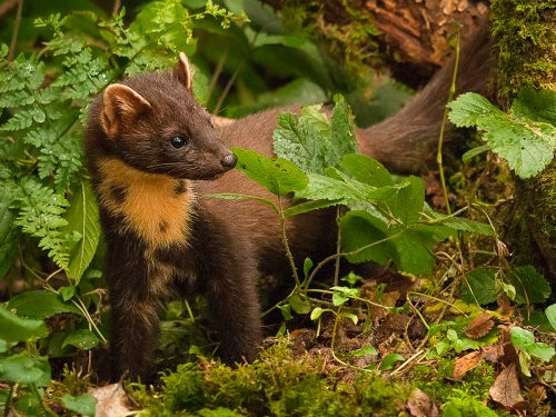 Information hub launched about Ireland's pine martens