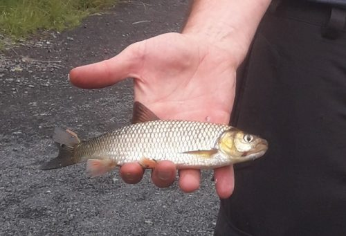 Chub an Invasive Species confirmed on the River Inny