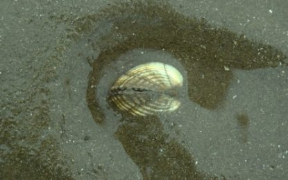 Keeping cockles alive, alive-oh: UCC scientists look to the past of this emblematic shellfish in order to protect its future
