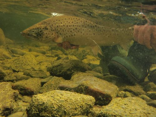 New scientific research on ferox trout in Lough Corrib & Lough Mask highlights the importance of conservation of this valuable trout stock