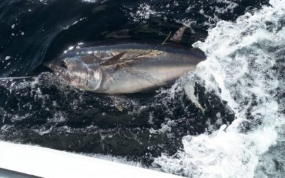 Tuna CHART 2021 – Bluefin tuna scientific catch-tag-and-release angling fishery 2021