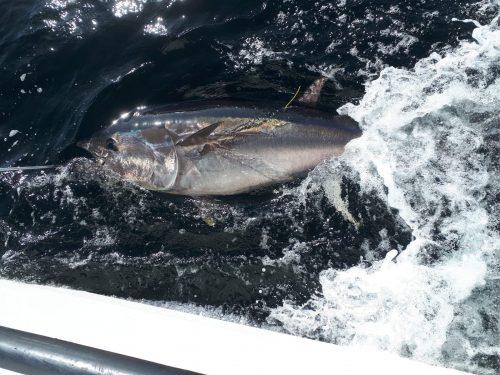 Tuna CHART 2021 – Bluefin tuna scientific catch-tag-and-release angling fishery 2021