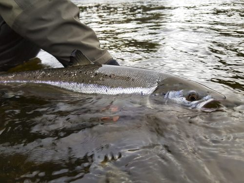 New study reveals the migration route of Atlantic salmon at sea